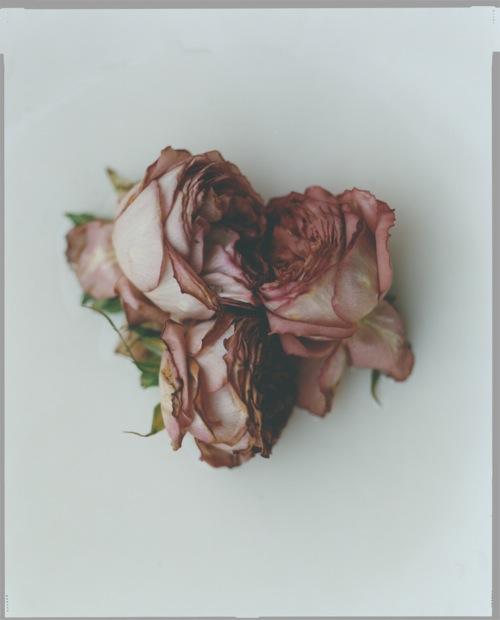 akio tomari, rose