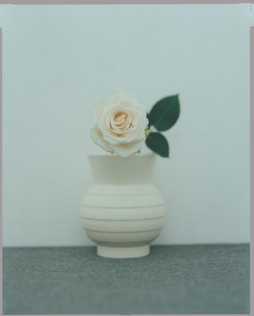 akio tomari,white rose